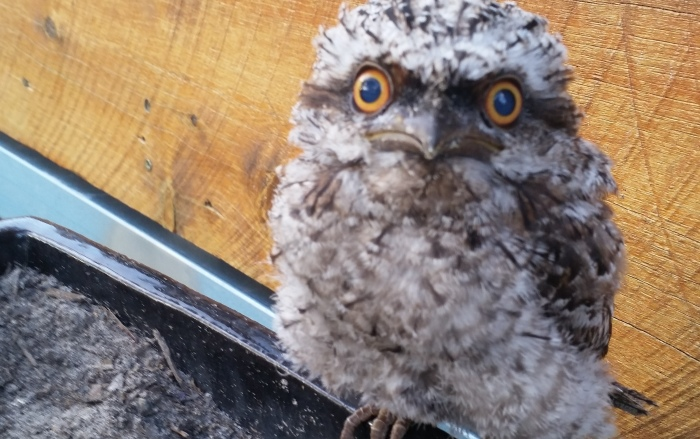 irwin the frogmouth owl
