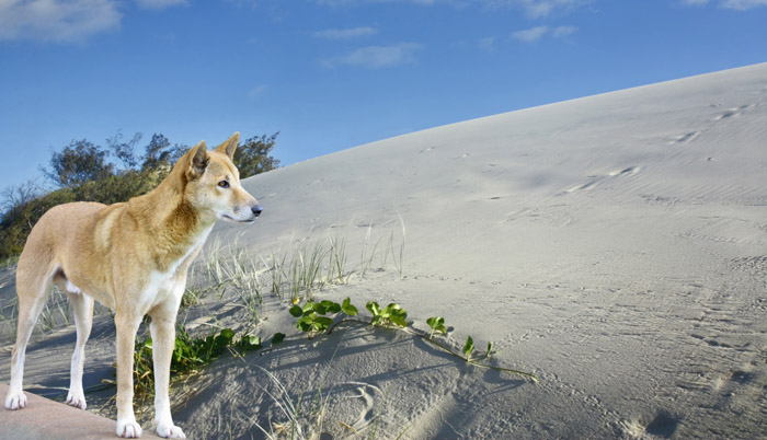 dingos are wild on Fraser island