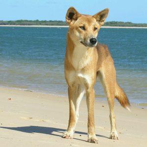 Beware of the Dingo