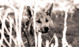 The Dingoes of Fraser Island are Dangerous