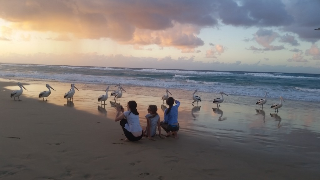 Pelicans on Fraser Island
