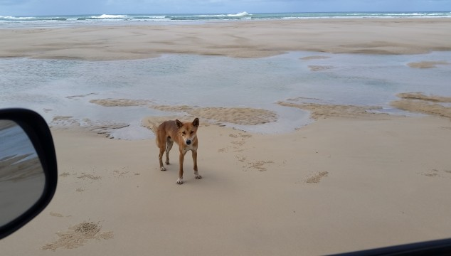 Keep your Children Safe from a Dingo Attack – What to do?