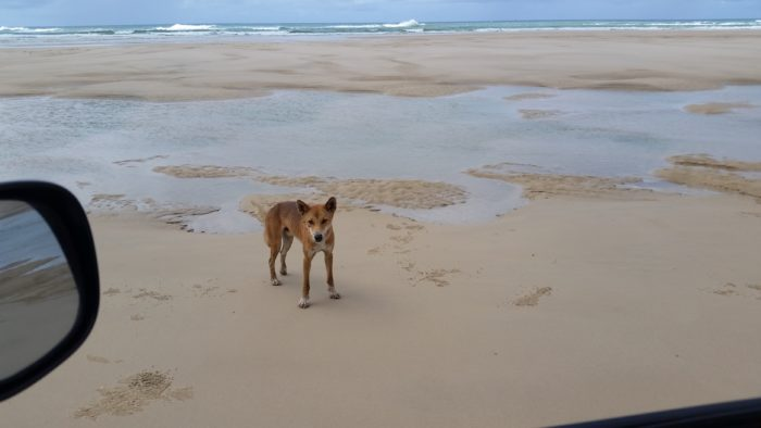 Dingo are a part of the natural wonder of Fraser island