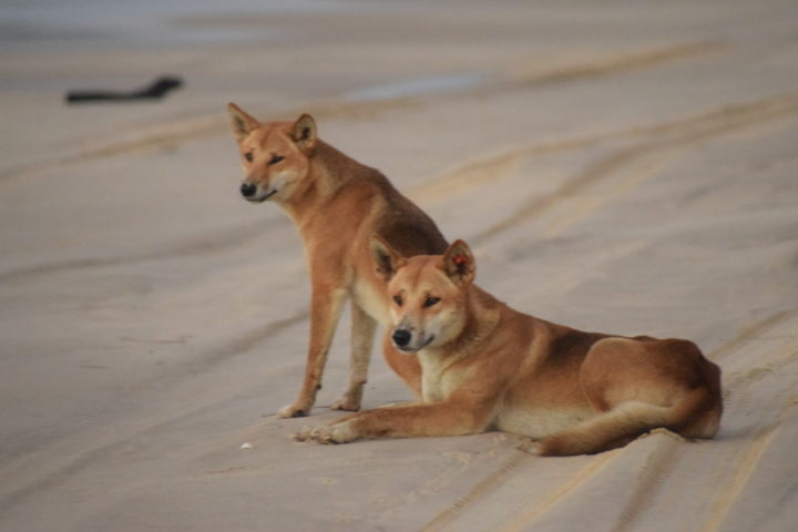 A pair of dingos