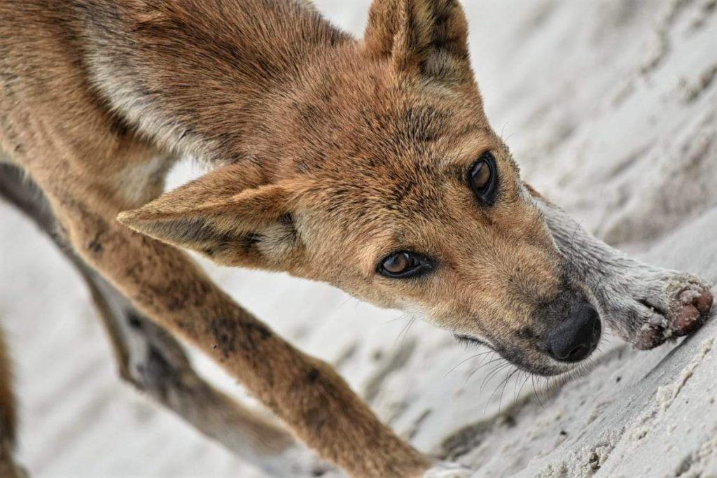 Fraser Island resident Dingo