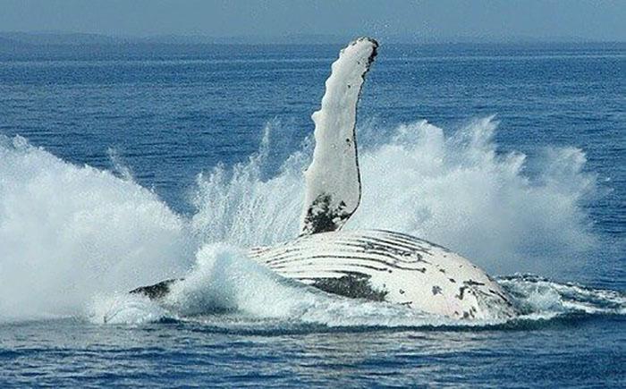 Humpback Whale breaching off Fraser Island